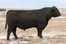 B/R Consensus 219: 17189849, TD Angus Cattle