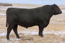 B/R Rito 3216: 17619288, TD Angus Cattle