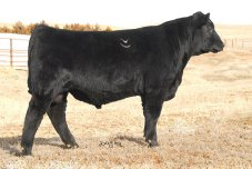 B/R New Frontier 095-13: 16949418, TD Angus Cattle