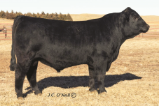 B/R Compadre 5201, TD Angus Cattle