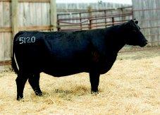 LD Ida 5120: 15352147, TD Angus Donor Cow